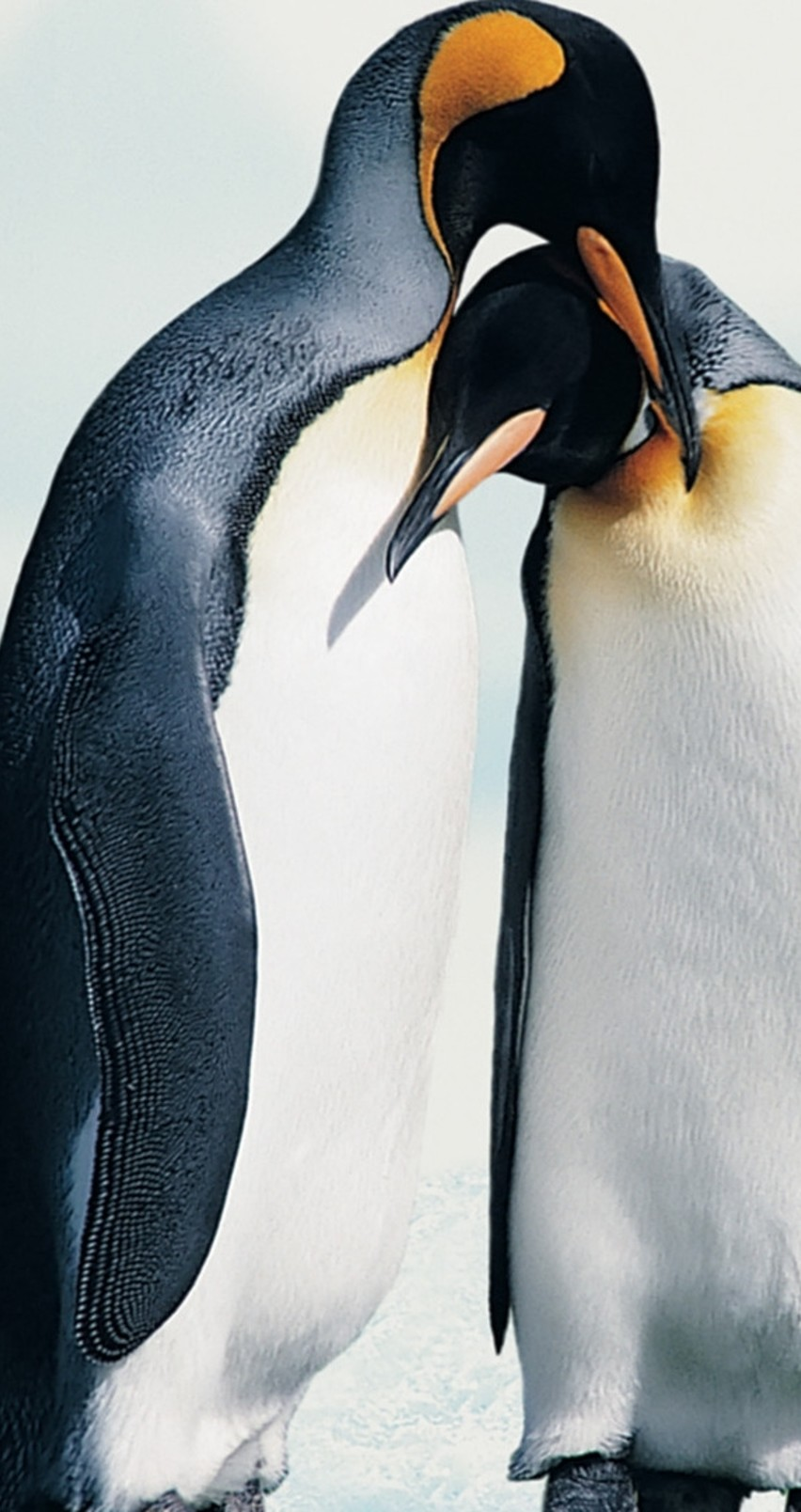 Penguins in love   Animal couple wallpaper 852x1608
