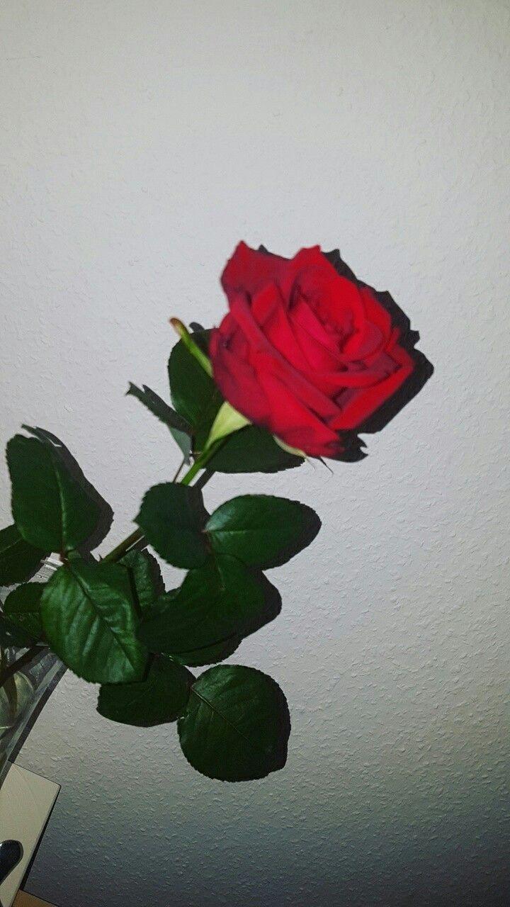 Pin de bby em walpper Rosas vermelhas Roses tumblr Rosas 720x1280