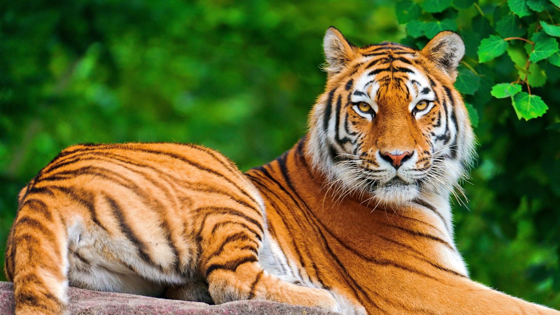 Cute Tiger Wallpaper   Desktop Backgrounds 1920x1080