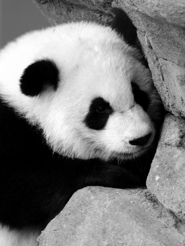 Download Cute Panda Near The Wall Screensaver For Amazon Kindle 3 600x800