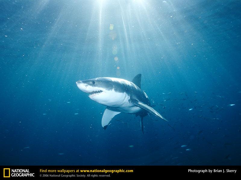 Great White Shark Picture Great White Shark Desktop Wallpaper 800x600