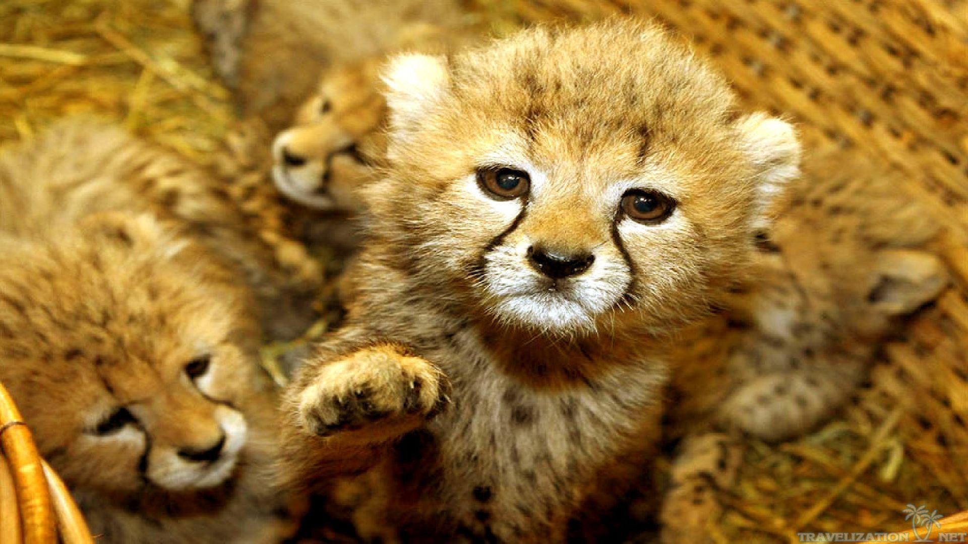 Gallery For gt Wild Baby Animal Wallpaper 1920x1080