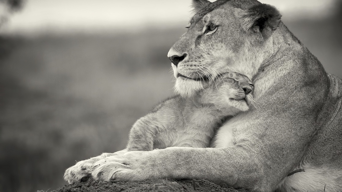 Free Download Lion Wallpaper Black And White Lion Images Black And