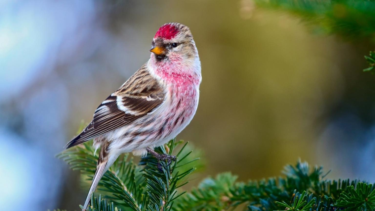 Redpoll Bird HD Wallpaper   WallpaperFX 1536x864
