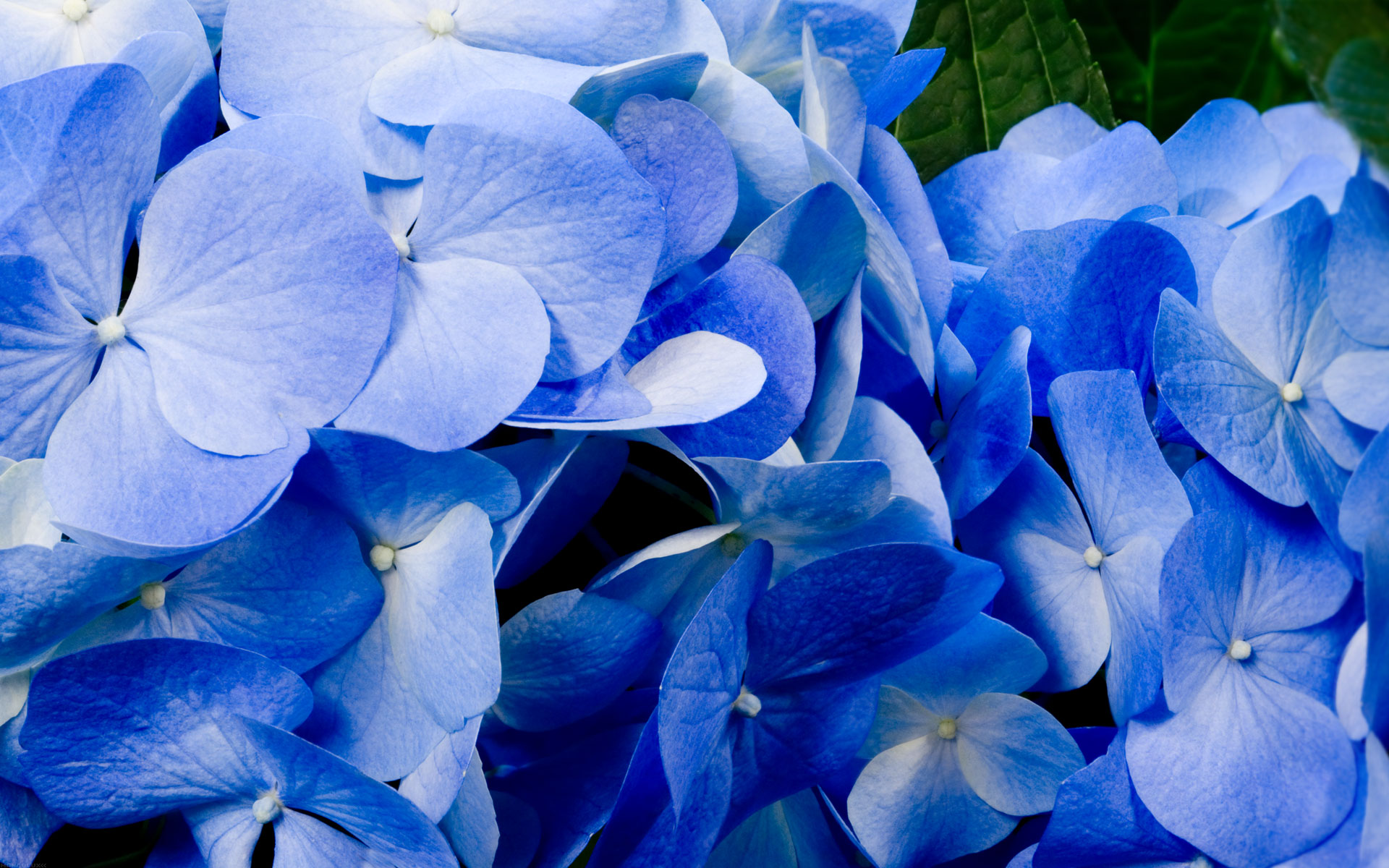 Blue Flower Wallpaper WallpaperSafari