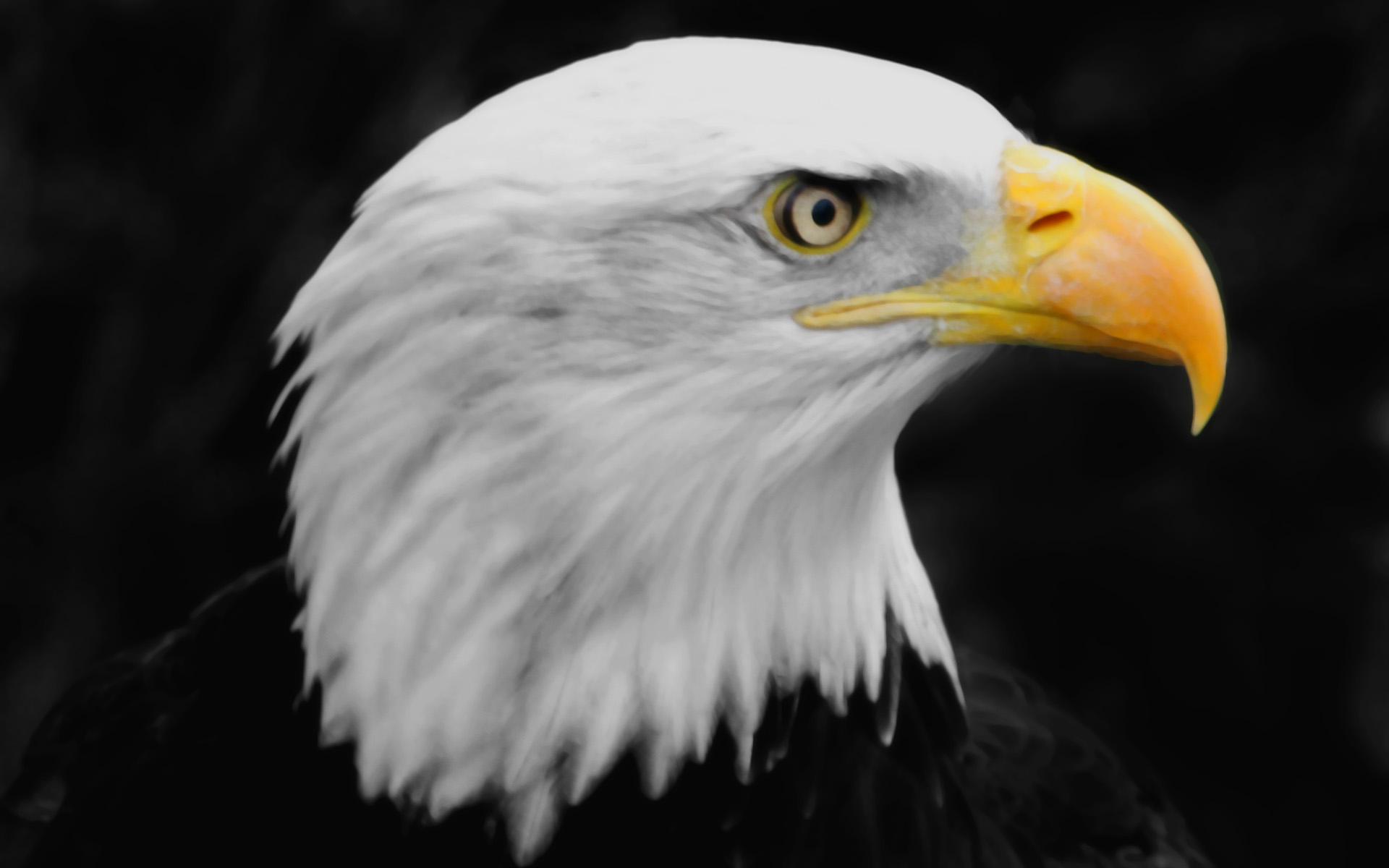 Eagle   Wallpaper 31009 1920x1200