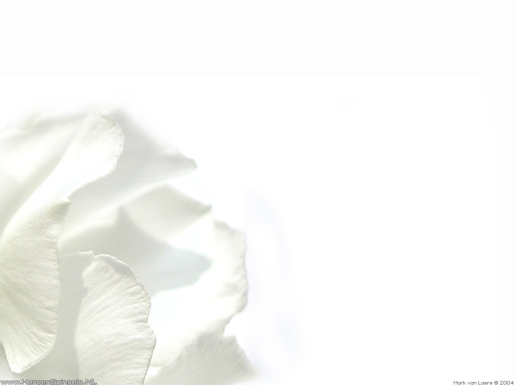 Wallpaper White oleander HersenSpinselsnl 2004   Right click to 1024x768