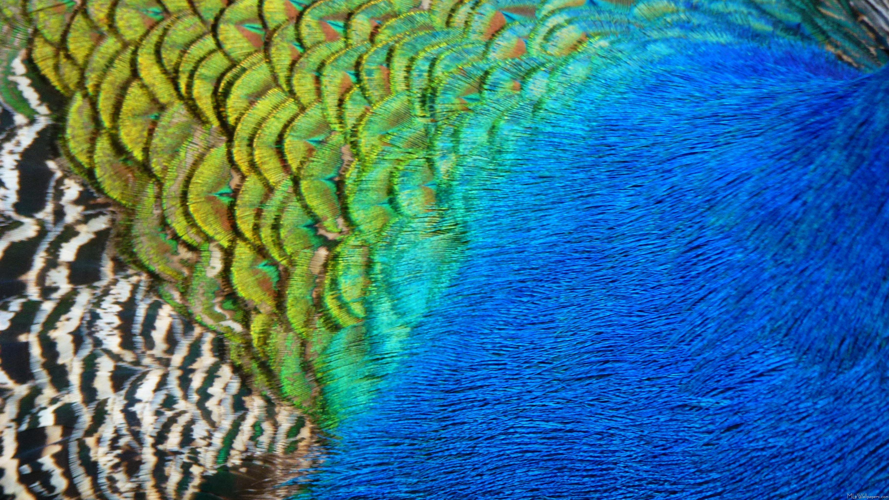 Peacock Blue Wallpaper - WallpaperSafari - photo#8