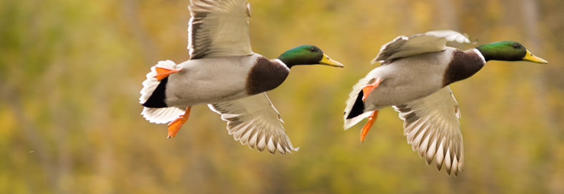 Drake Waterfowl Wallpaper Youth Clinic And 790x273