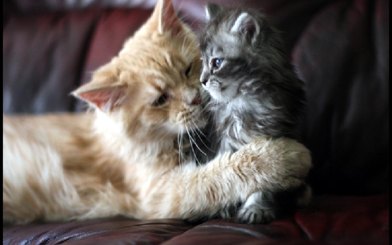 Beautiful Cat and kitten   Cats Wallpaper 16122479 1280x800