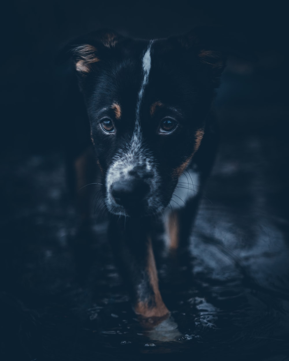 Blue Heeler Pictures Download Images on Unsplash 1000x1250