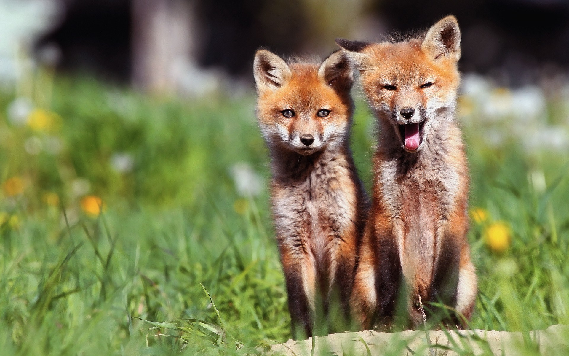 Animals baby animals foxes wallpaper 1920x1200 8148 WallpaperUP 1920x1200