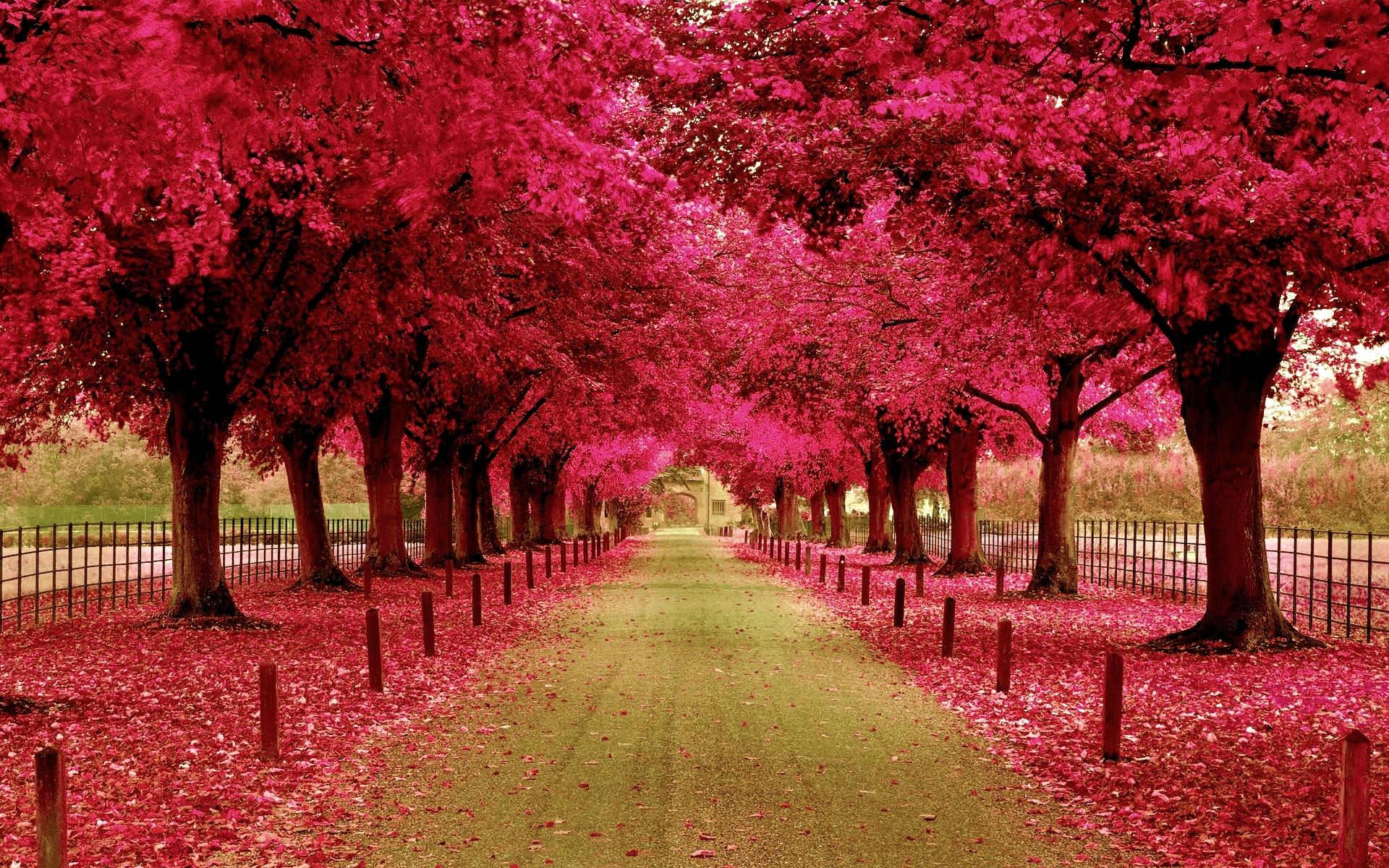 Wallpaper Pink Trees Walkway 1920x1200