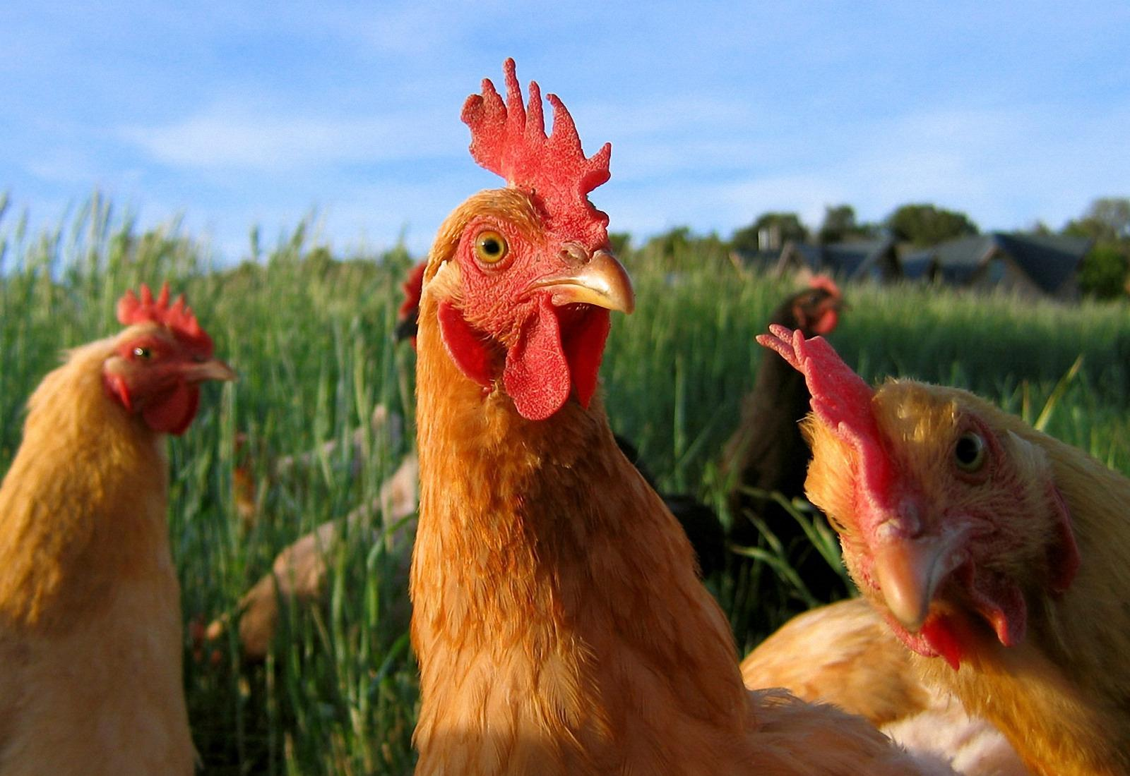 Chicken Wallpapers Fun Animals Wiki Videos Pictures Stories 1600x1100