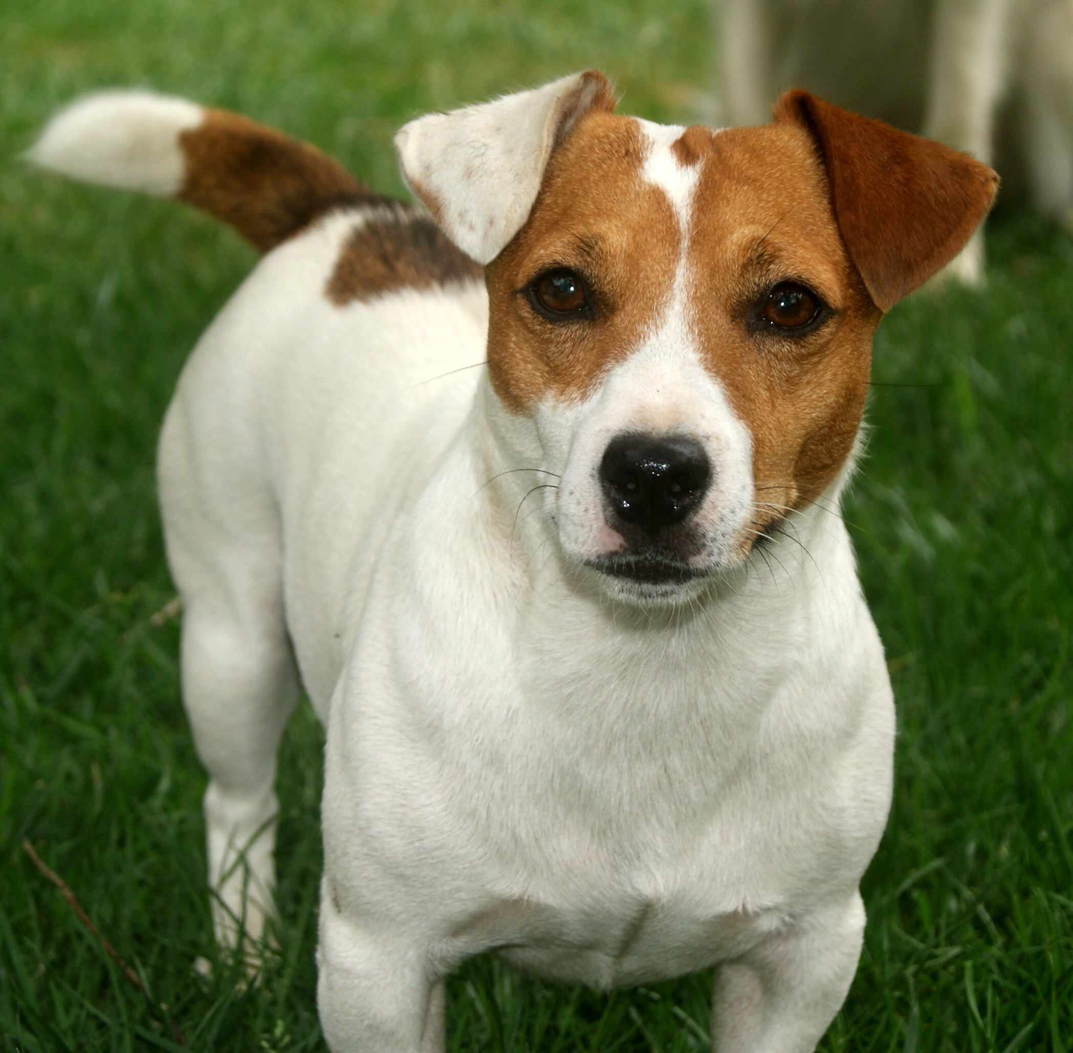 Funny Jack Russell Wallpaper