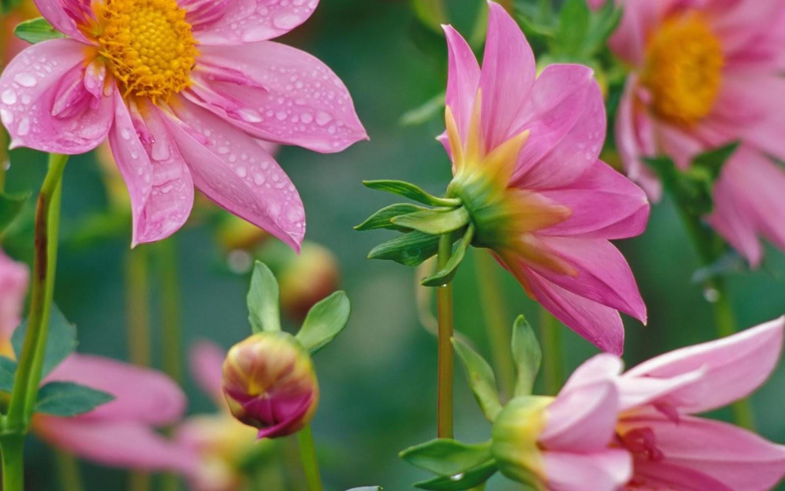 flowers for flower lovers Desktop Beautiful Flowers HD Wallpapers 1600x1000