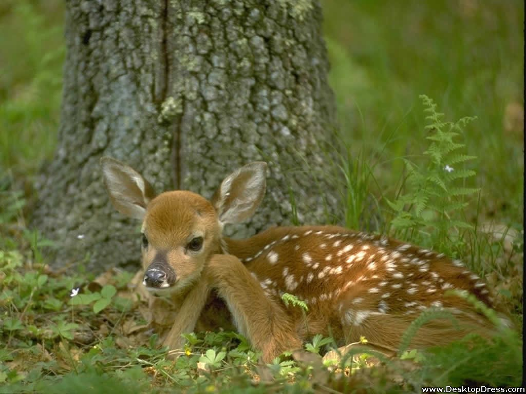 Desktop Wallpapers Animals Backgrounds White Tailed Deer Fawn 1024x768