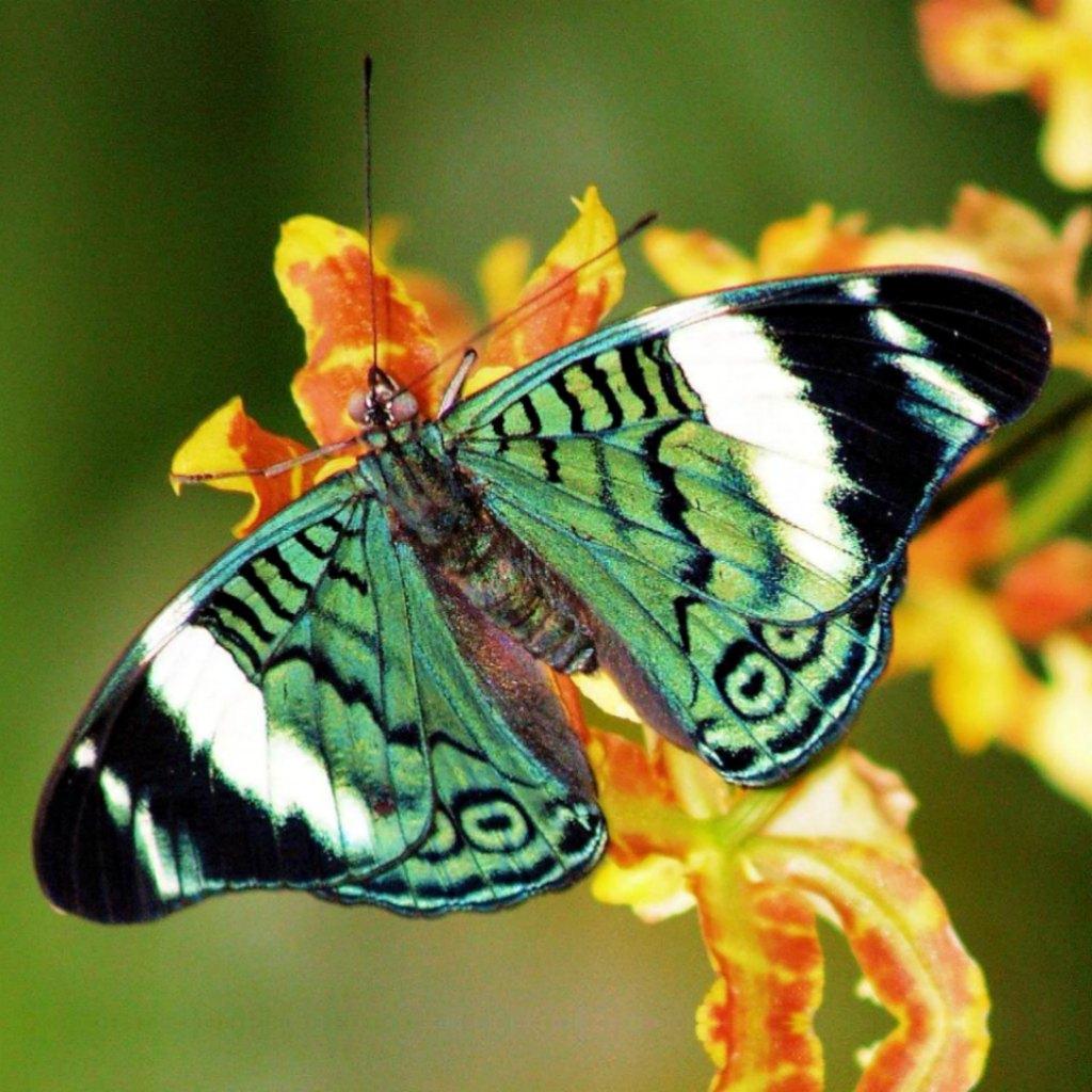 Rainforest Butterfly wallpaper   Splendid Wallpaper HD 1024x1024