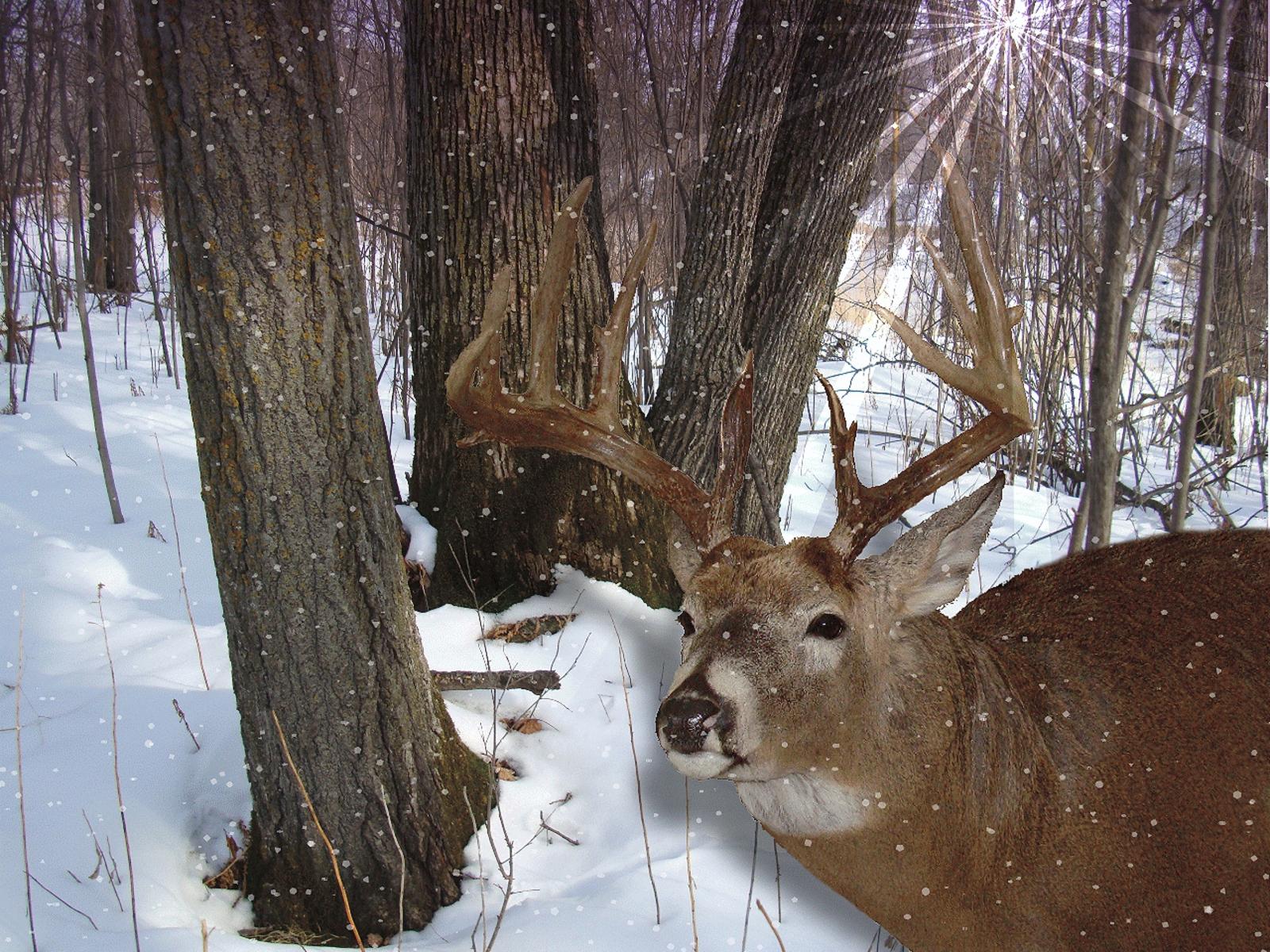 Free Whitetail Deer Wallpaper Screensaver