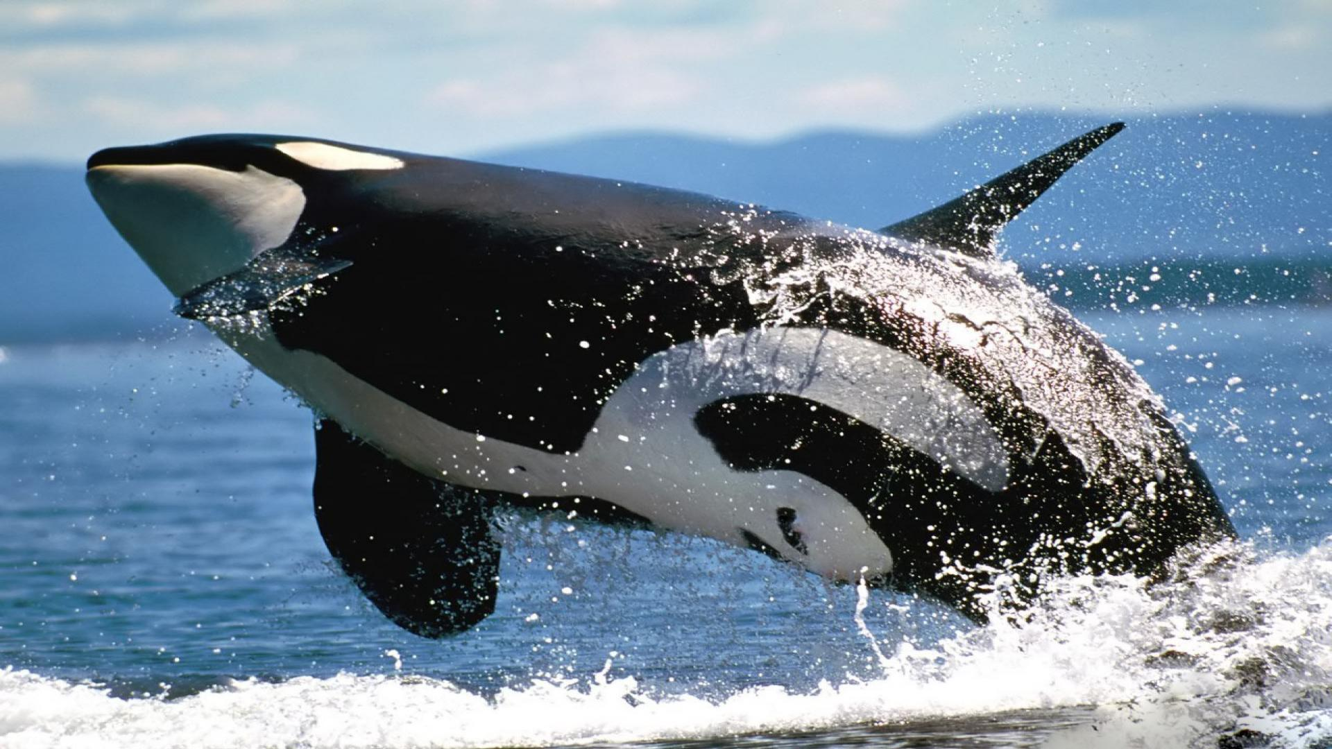 Killer Whales Wallpapers 1920x1080
