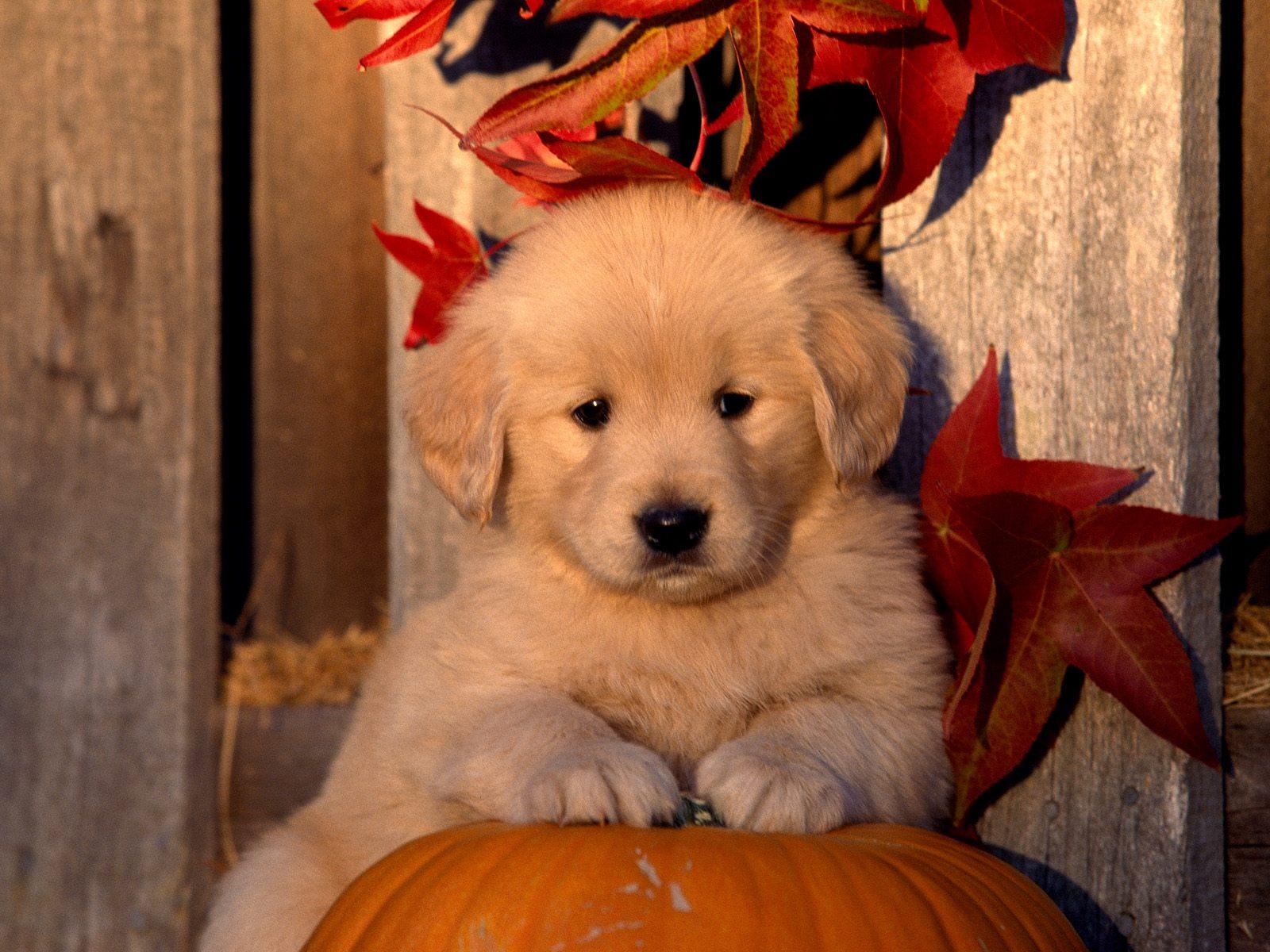 Autumn Golden Retriever puppy photo and wallpaper Beautiful Autumn 1600x1200