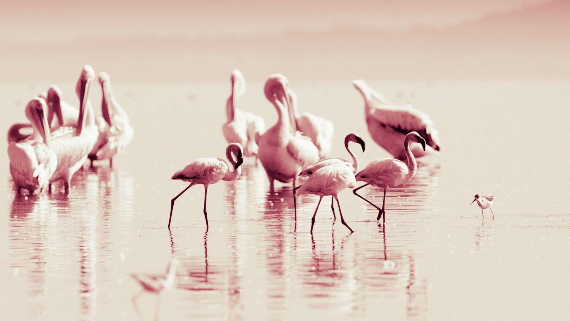 Free Download Flamingo Screen Wallpaper Pictures To Pin 1920x1080