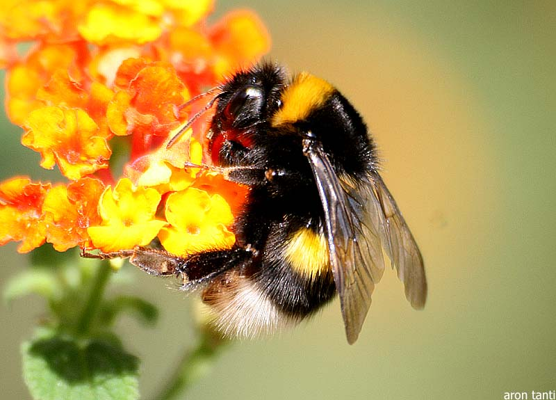 Bumble Bee Animal Wildlife 800x575