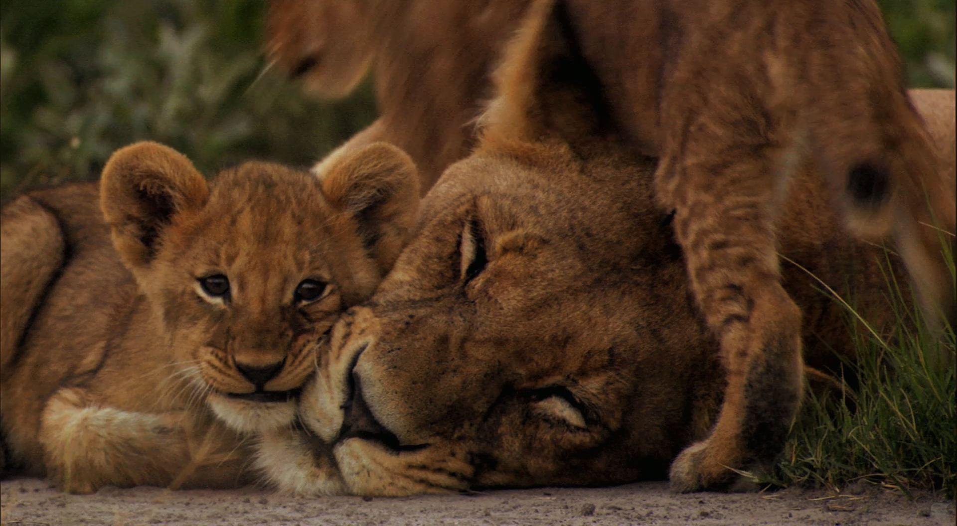 Pics Photos   Lion Cubs Lioness Protecting Desktop 1920x1056