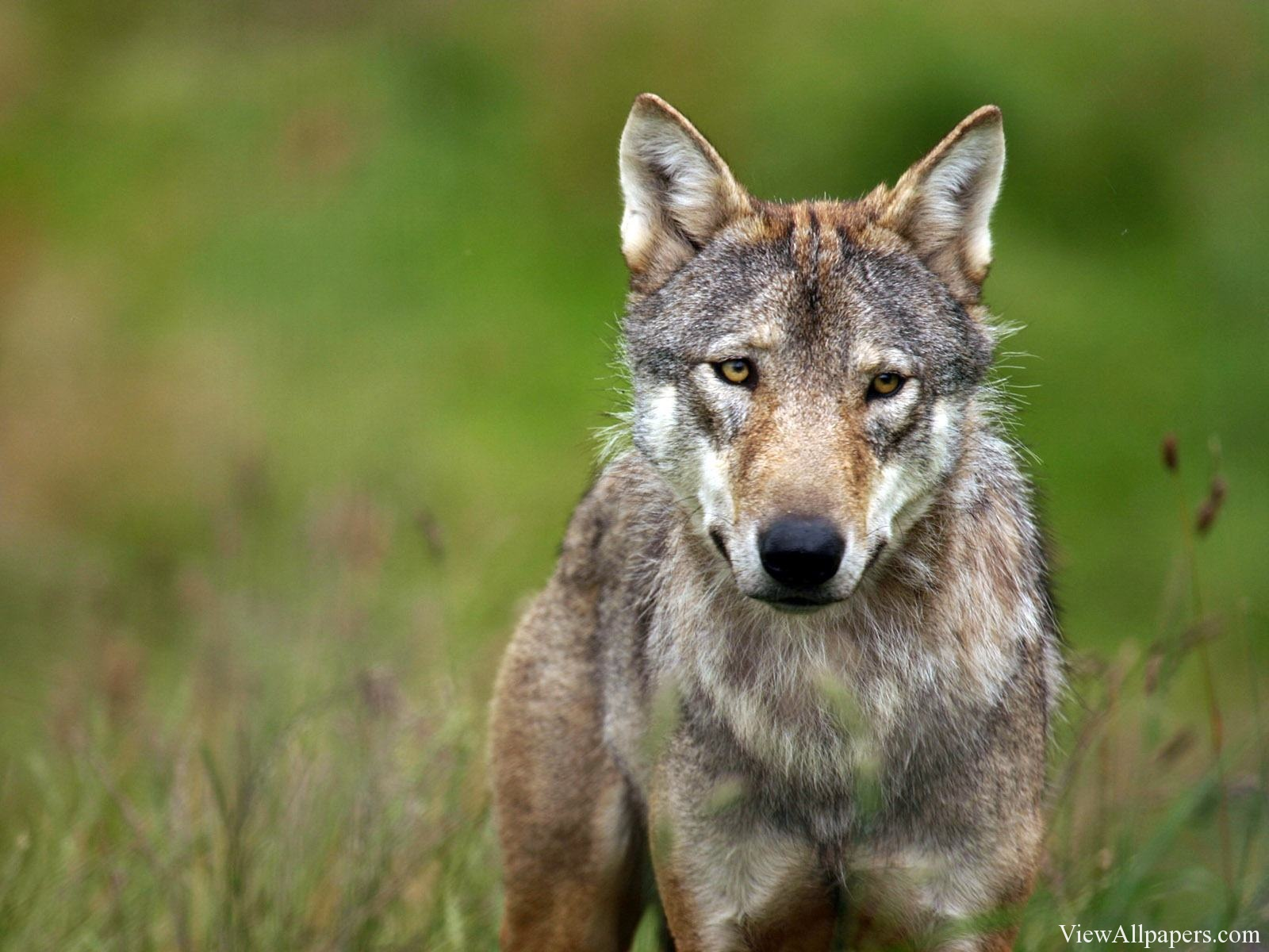 Animal Planet Wolf Wallpaper High Resolution Wallpaper Animal Planet 1600x1200