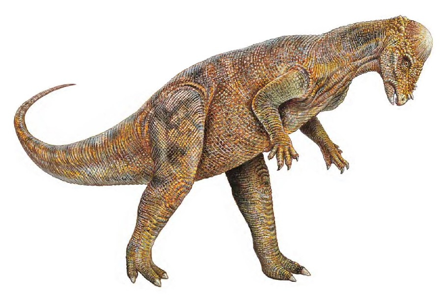 Pachycephalosaurus Pictures Facts   The Dinosaur Database 900x611