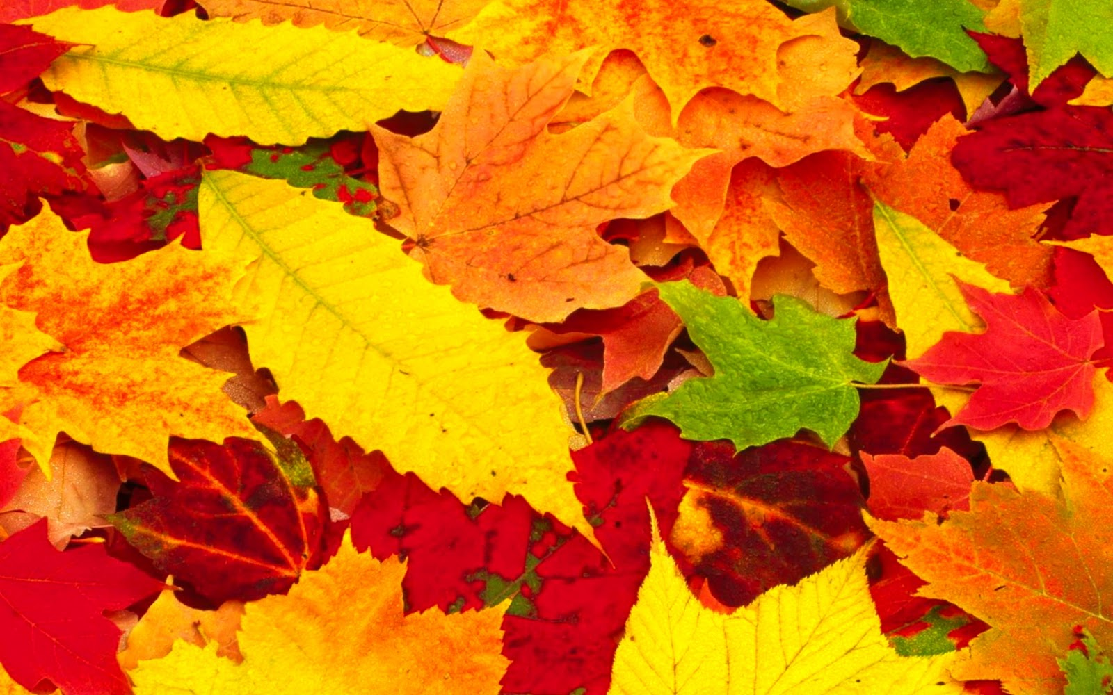 Red Autumn Leaves Wallpapers hd 1600x1000