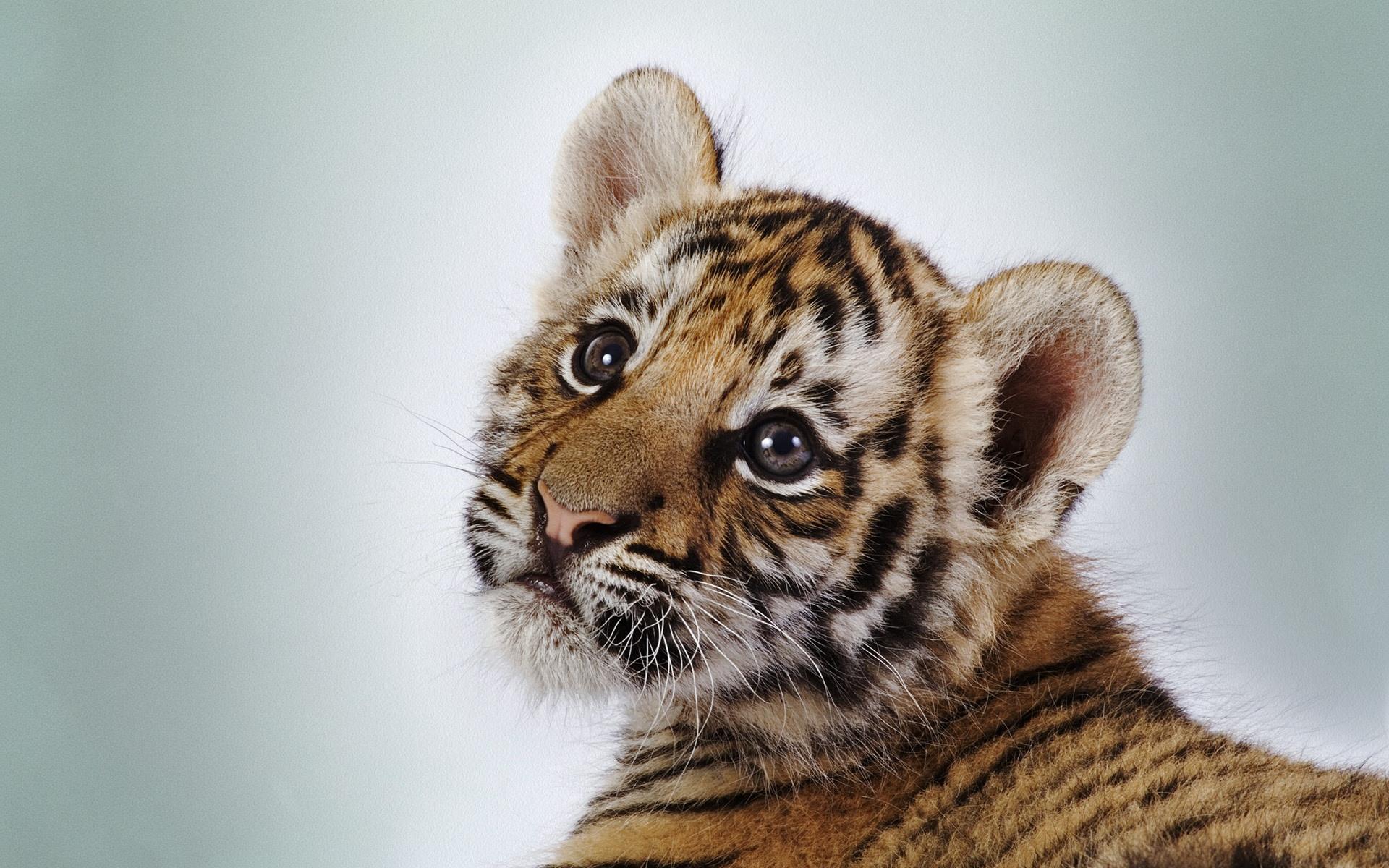 Baby Tiger desktop wallpaper 1920x1200