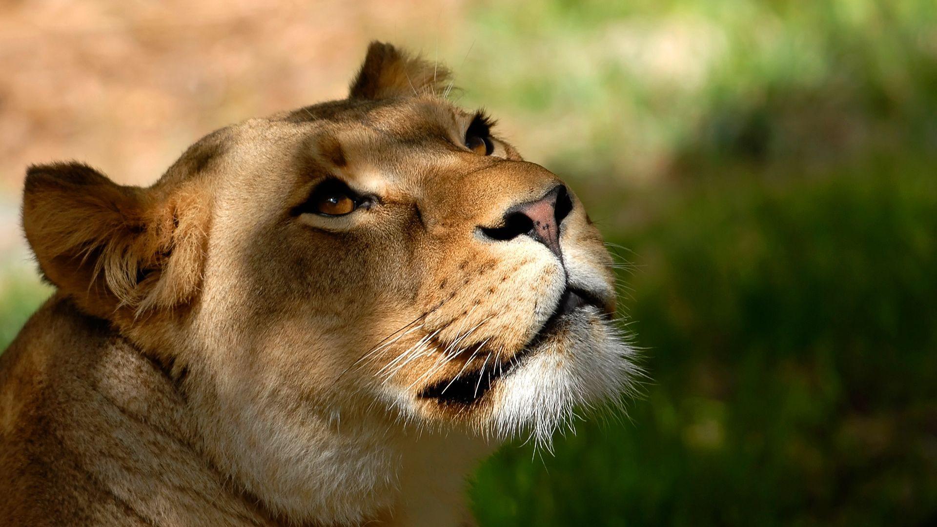 Lion full hd wallpaper face 19201080 1080p download Full HD 1920x1080