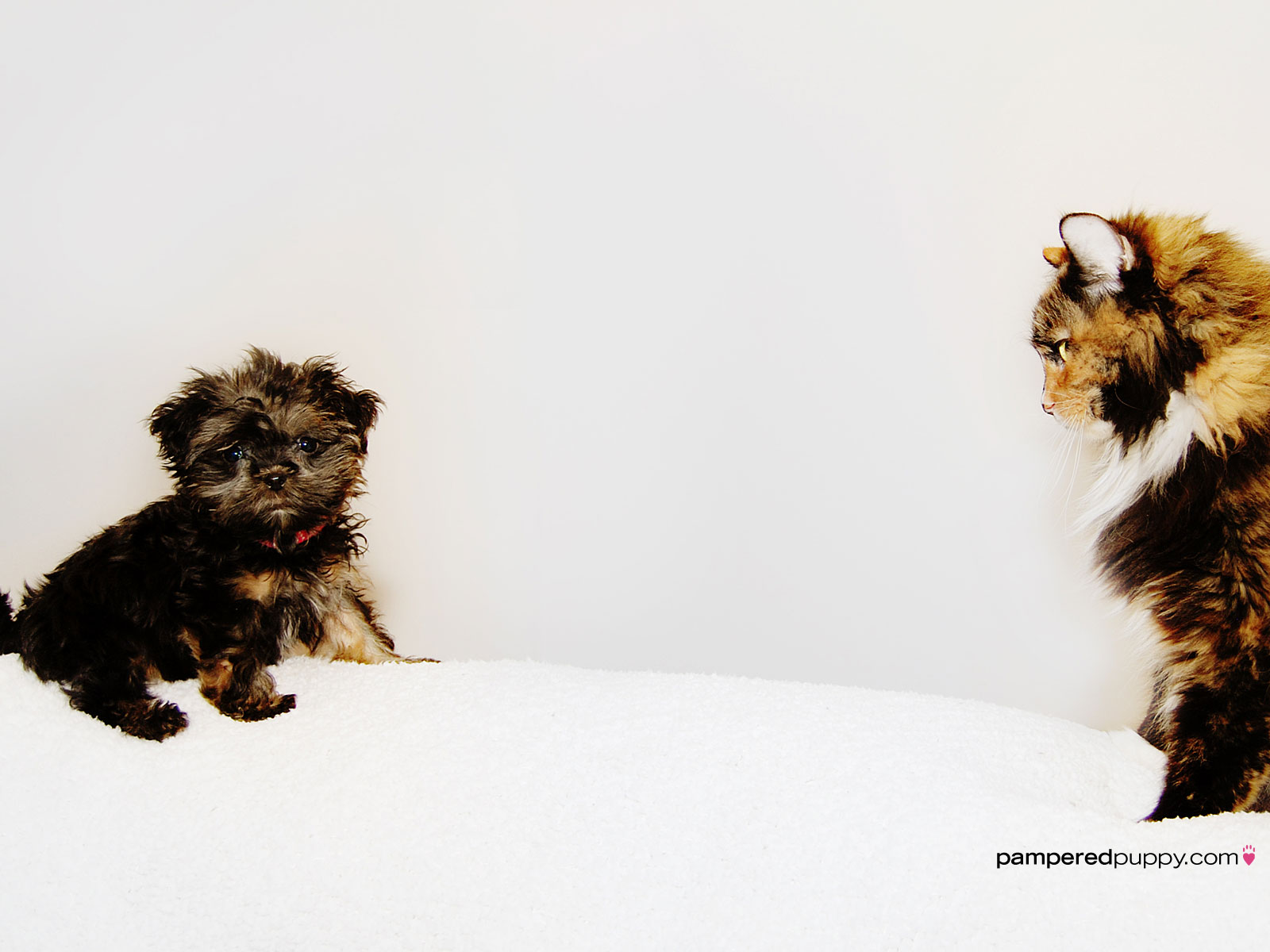 dog wallpaper   The staredown tiny Shih TzuYorkie puppy and 1600x1200