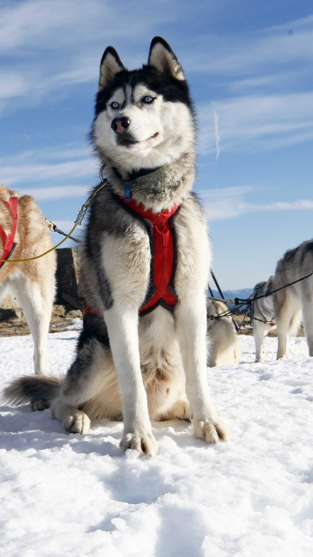 Husky Dog Alaska Snow iPhone 6 Wallpaper Download iPhone Wallpapers 1080x1920
