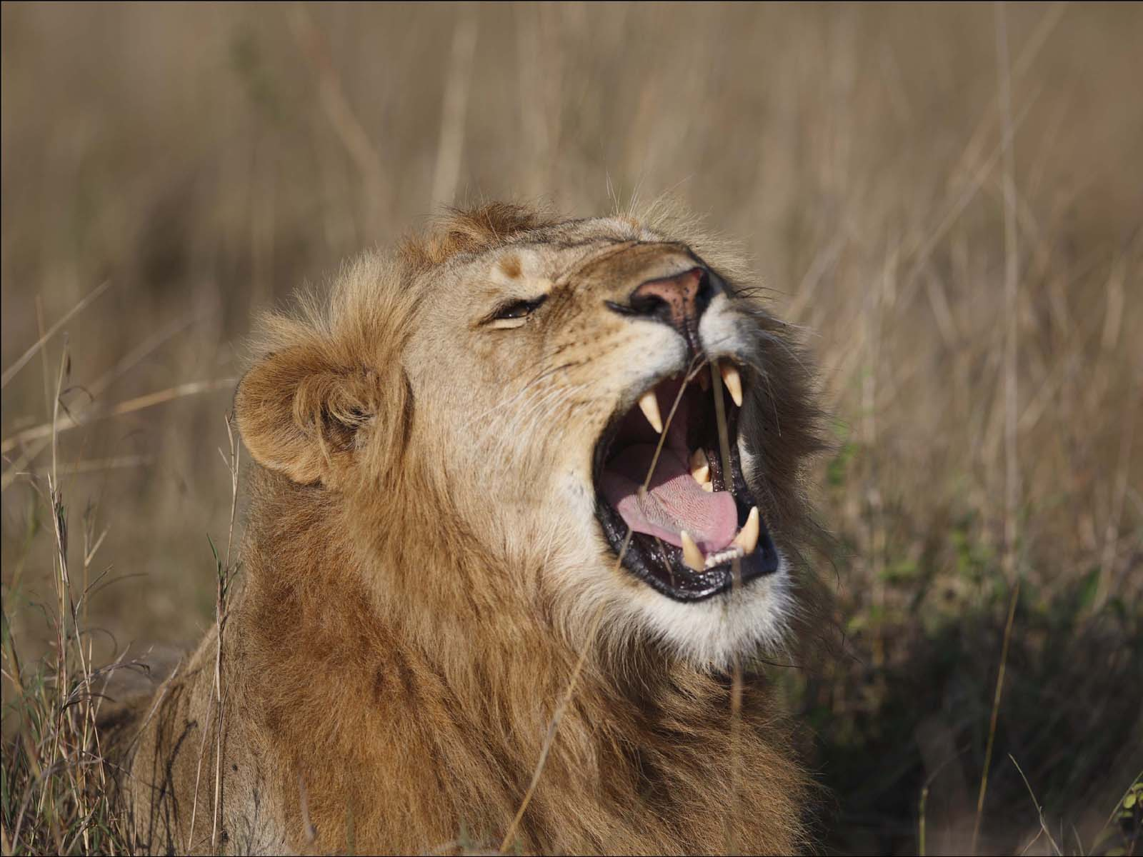A roaring success, the world's first white ligers: Four Free pictures of lions roaring