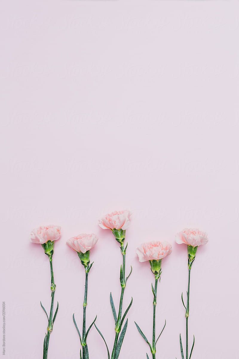 Five Pink Carnation Flowers Over Pink Background by Marc Bordons 800x1200