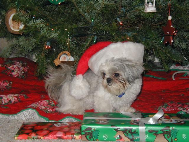 Shih Tzu Christmas Cards