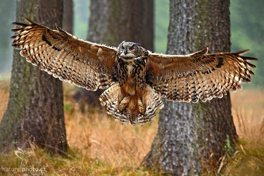 Flying Owl wallpaper   ForWallpapercom 908x606