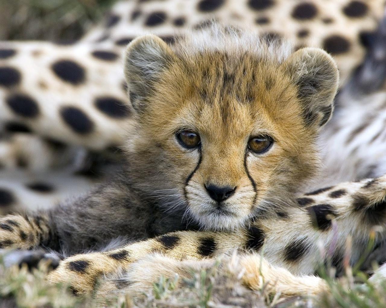 1280x1024 Cute cheetah cub desktop PC and Mac wallpaper 1280x1024