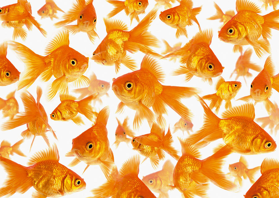 Background Showing A Large Group Of Goldfish Photograph 900x640