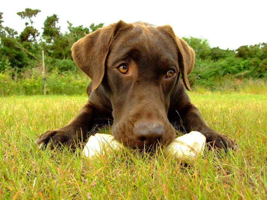 Chocolate Lab Wallpapers 1024x768