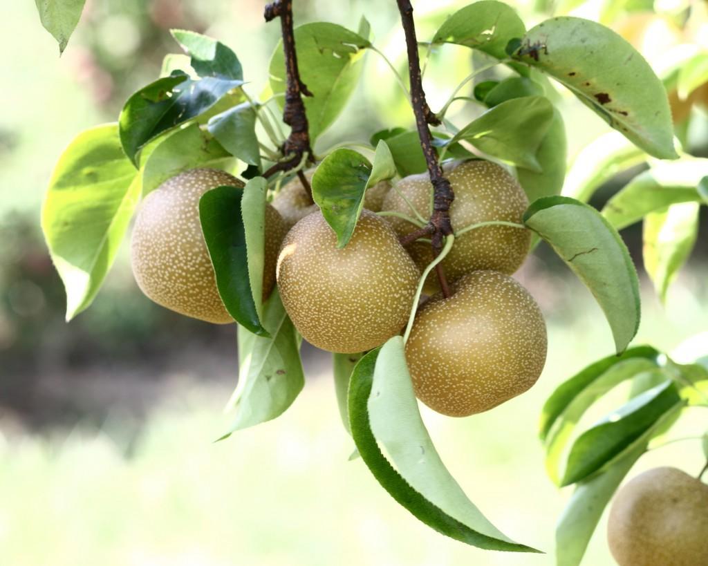 66 Pear Wallpaper On Wallpapersafari Wallpaper macro pear fruit branch leaves