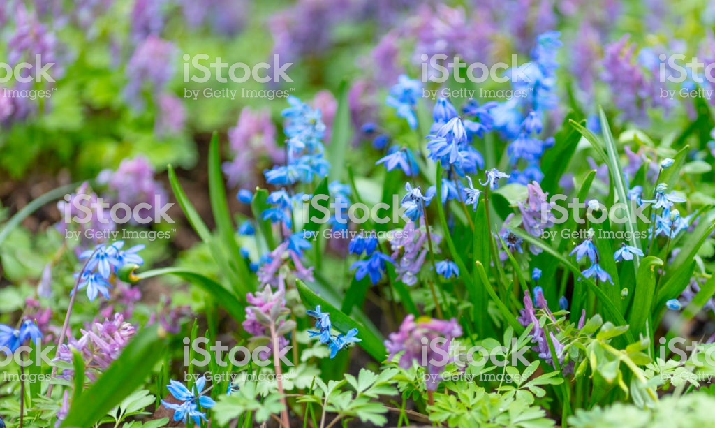 Pastoral Background Of Flowers Of White And Blue Stock Photo 1024x613
