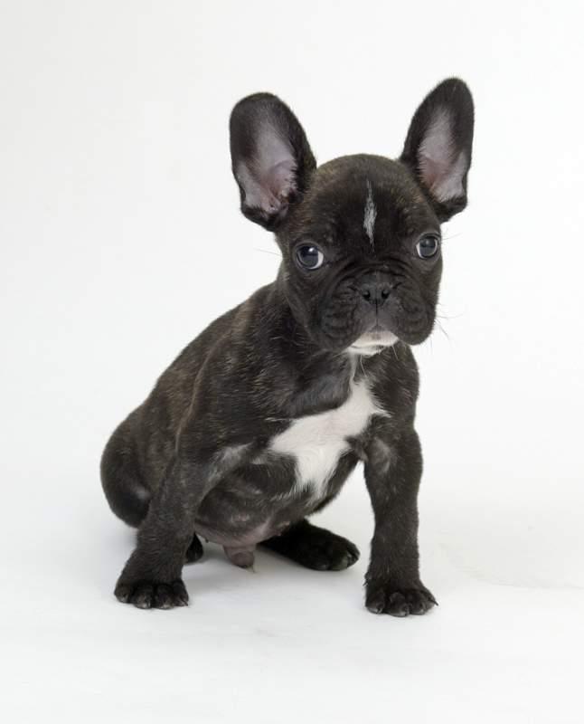 French Bulldog Puppy Wallpaper Wallpapersafari