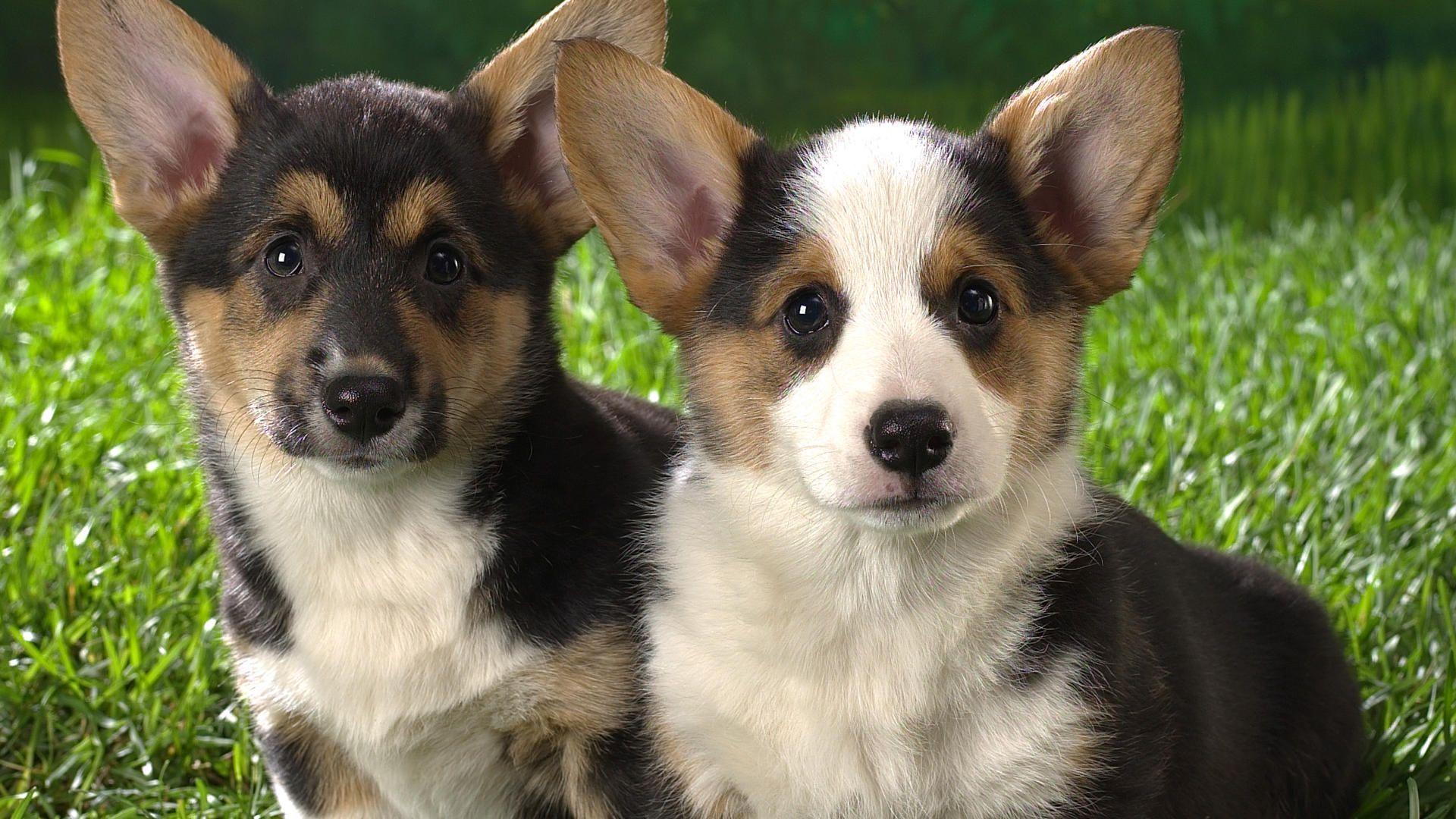 corgi puppies wallpaper wallpapersafari