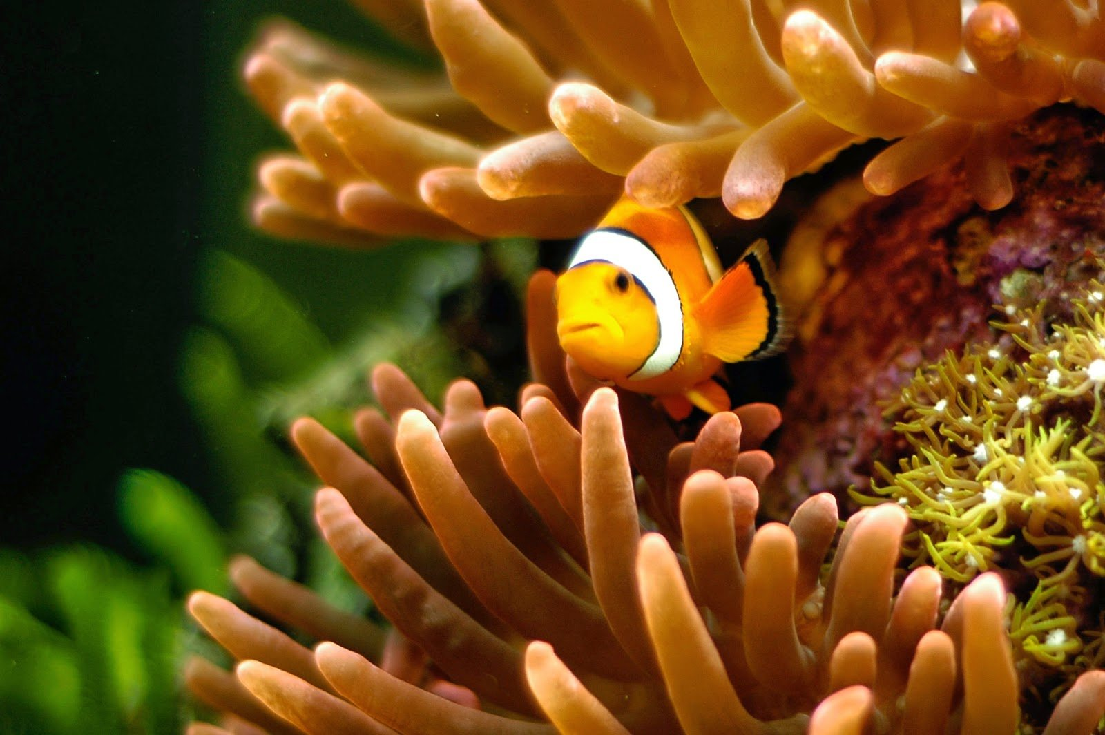 Desktop HD Wallpapers Downloads Clown Fish HD Wallpapers 1600x1064