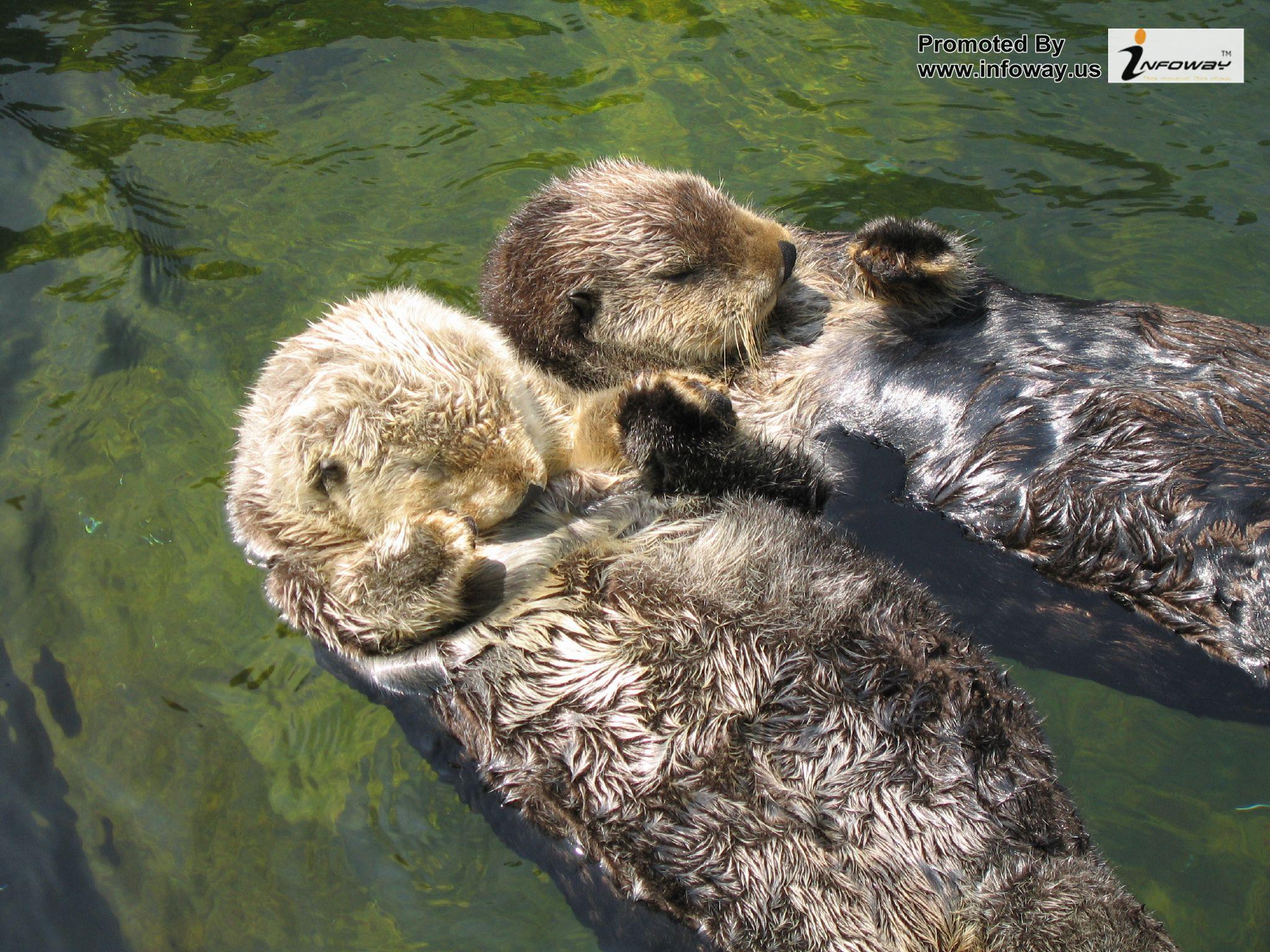 Cute river otters wallpaper   Photo 58 of 98 phombocom 2048x1536