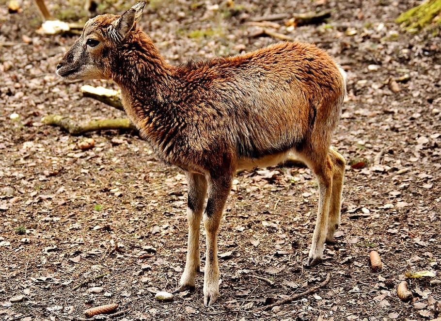 HD wallpaper mouflon young animal aries wild animal european 910x662