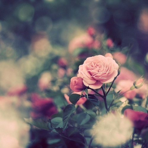 rose flowers tumblr wallpapers full hd photography hd hd ewzkwtksjpg 500x500